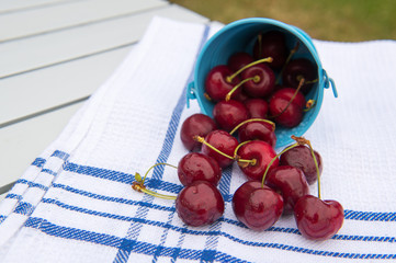 Harvest of cherries