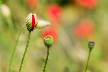 Bud and red poppy