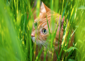 Red cat sneaking through the grass. Selective focus.