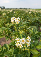 White flowers with yellow stamens of potato plants