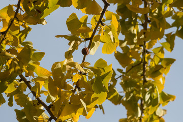 ginkgo biloba leaves in autumn