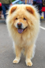 Cream dog Chow-Chow breed