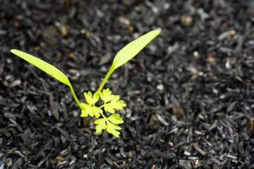 発芽したチャービルの葉