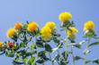 青空をバックにベニバナの花花