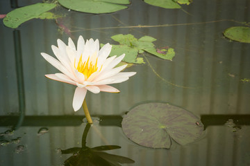 Beautiful waterlily in lake of peace