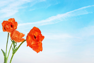 Red bright poppy flowers against blue sky