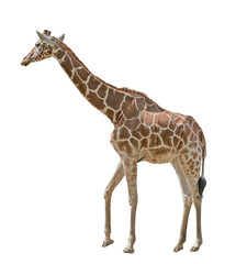 large isolated on white giraffe