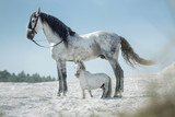 Two beautiful horses resting on the desert
