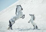 Fabulous scene of the jumping horses