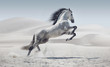 Leinwanddruck Bild - Picture presenting the galloping white horse