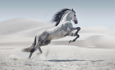 Picture presenting the galloping white horse © konradbak
