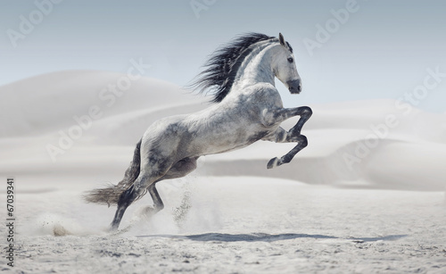 Foto op Canvas Paarden Picture presenting the galloping white horse