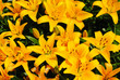 Summer Background of Bright Yellow Lilies