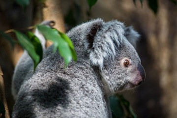 Koala on a tree with bush green background