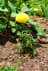 Single Marigold Growing in a Summer Garden