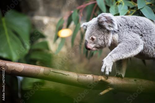 Plexiglas Koala Koala on a tree with bush green background