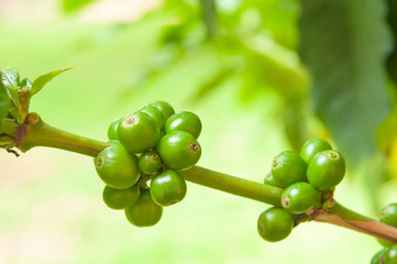 Unripe coffee on tree branch