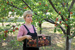 Agriculture,  farmer carry crate of apricot fruit in orchard