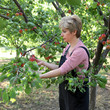 Agriculture, female farmer picking apricot fruit in orchard