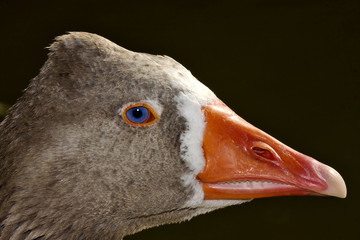 brown duck whit blue eye