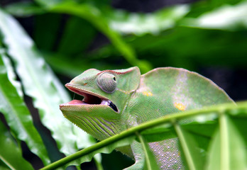 Chameleon camouflages itself in the midst of the green leaves an