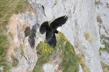 Chova Piquigualda en vuelo. Pyrrhocorax graculus.