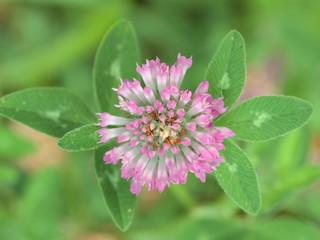 Trifolium pratense. Trébol común.