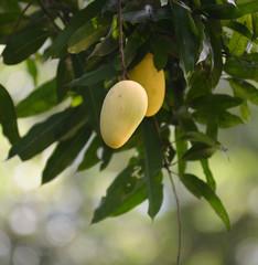 Mango on the tree.