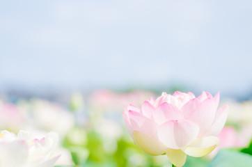 かわいいピンクの蓮