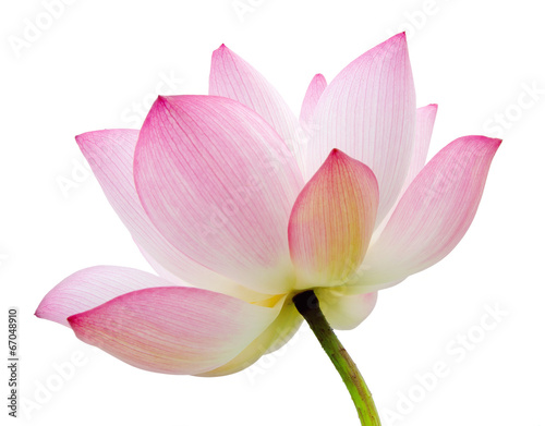 Leinwanddruck Bild isolated lotus