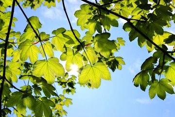 Fresh Summer Leaves with sunshine