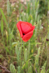 Red Poppy in Cornfield.