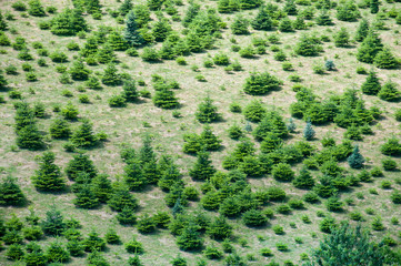 plantation of conifers seen from above
