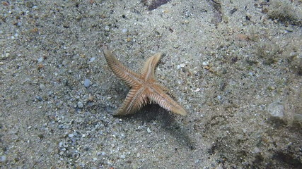 Underwater footage of a Starfish turning over