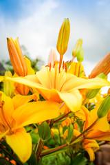 Gelb leuchtende,große Lilienblüten