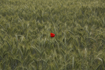 Single poppy flower in a field
