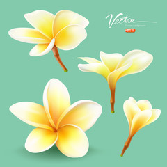 Frangipani, thailand flower collections design
