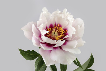 peony varieties Cora Louise  isolated on gray background