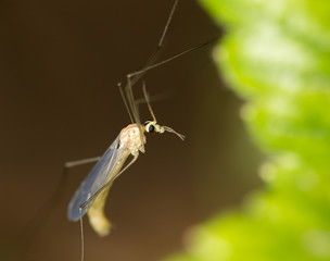 mosquito in nature. macro
