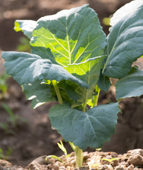 cabbage leaves in nature