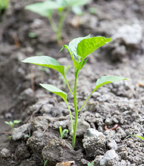 young plant in the ground pepper