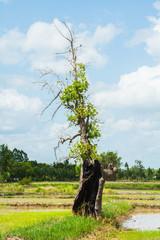 Old tree on ridge among the cornfield