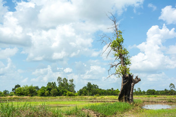 Old tree on ridge among the cornfield