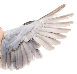 wing dove on white background