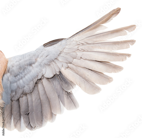 Foto op Canvas Zwaan wing dove on white background