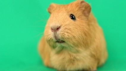 funny guinea pig talking on a green screen