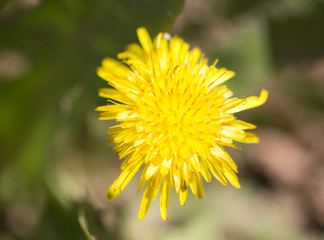 dandelion in nature. macro