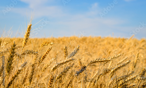 Close-up of golden wheat ears ready for harvest