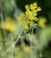 yellow flowers of dill
