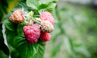 Raspberry bunch